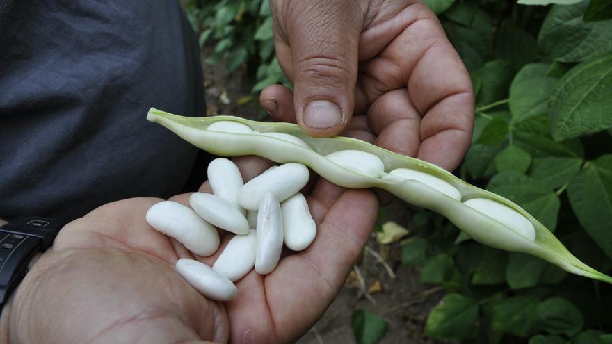 La faba asturiana, a más: la producción crece un 12% y alcanza los 110.000 kilos