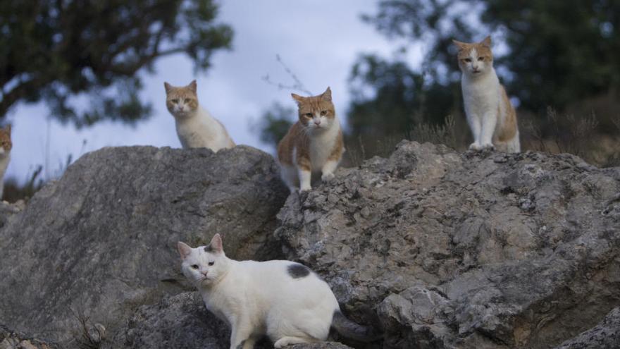 Agullent inicia una campanya d'esterilització de gats