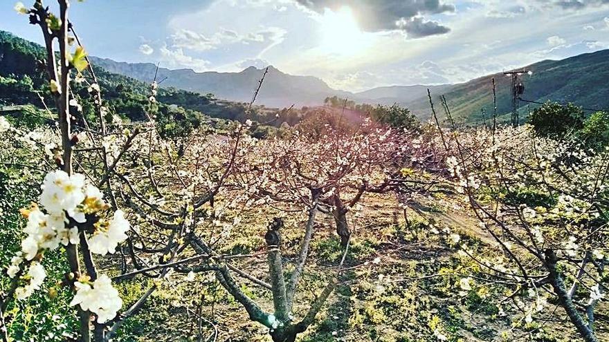 Comienza la floración de los cerezos en la Vall de Gallinera