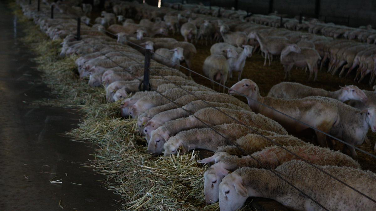 Explotación de ovino en la provincia de Zamora.