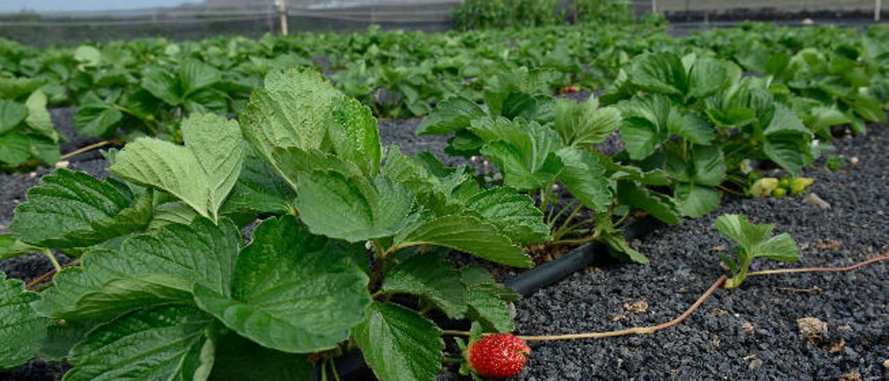 Canarias hace sitio en sus cuentas por vez primera a la investigación agrícola