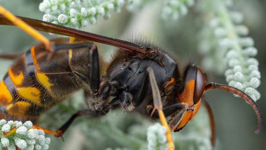 Una mujer, grave en Asturias por las picaduras de avispas asiáticas