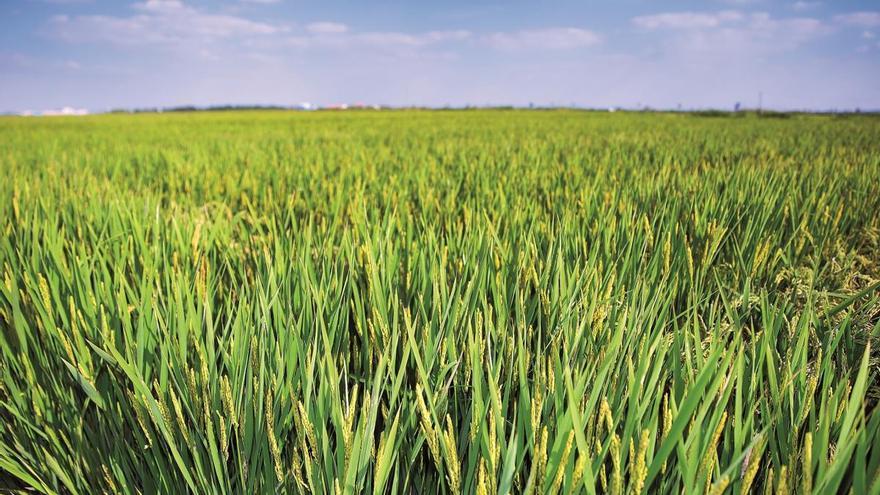 Loyant, nuevo herbicida de Corteva Agriscience para el control de malas hierbas en el cultivo de arroz