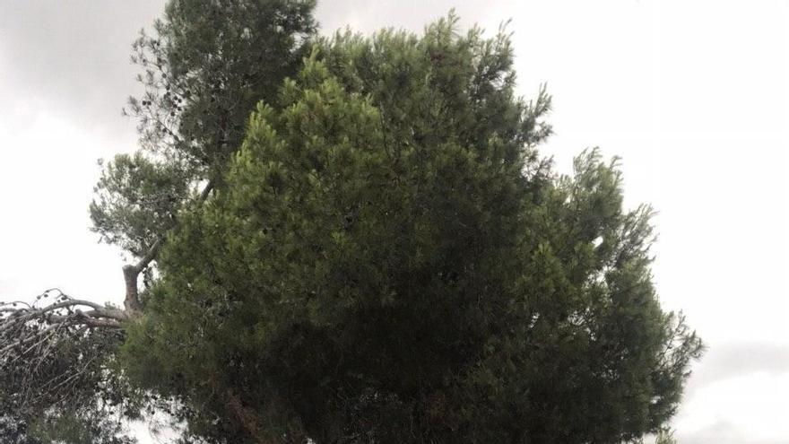 Cambiemos Orihuela alerta de la intención de talar dos grandes árboles para instalar una casa de apuestas