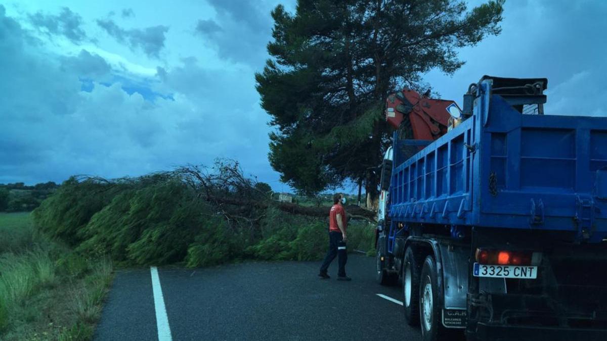 Un árbol caído en la carretera de Manacor a Sant Llorenç.