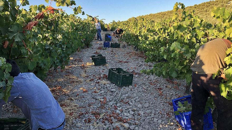 Bodegas Robles finaliza la segunda vendimia para vinos espumosos