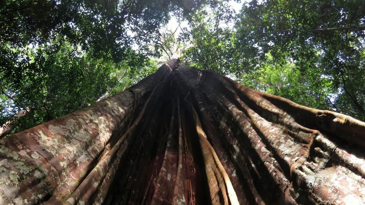 Un gran árbol del Amazonas
