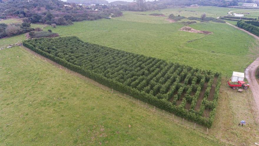 Un laberinto vegetal en Llanes aspira a ser el mayor de España