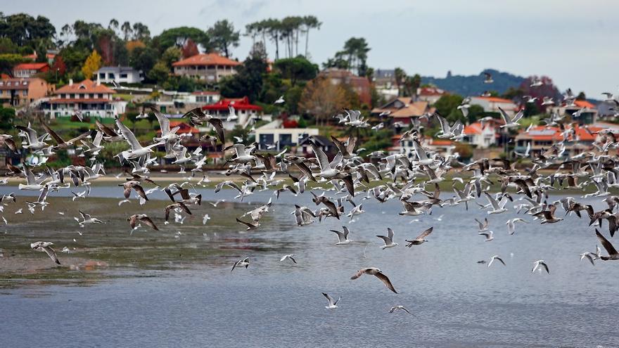 El espectacular baile de una bandada de pájaros sobre el estuario de Foz