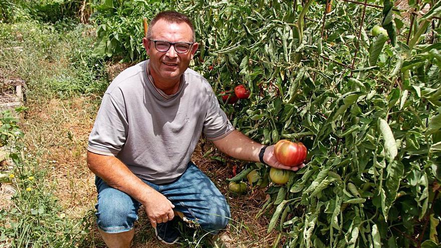 Un vecino de Teulada cultiva tomates ecológicos de un kilo de peso