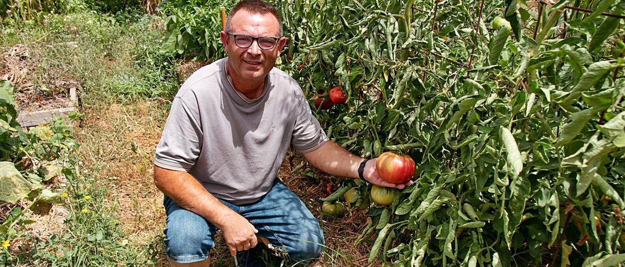 Juan Vicente Buigues muestra en su bancal uno de los espectaculares tomates. | VICENTE BOLUFER