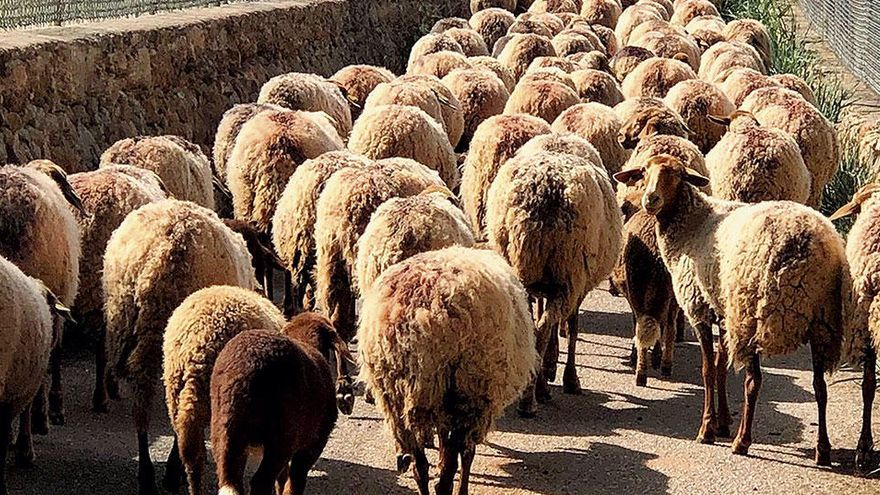 Wandern auf Mallorca: Auf der Spur der Schafe