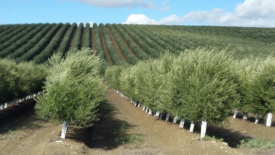 Los injertos de olivo no frenan la verticilosis