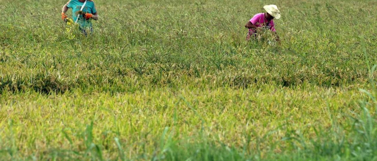 Dos agricultores acometen labores previas a la siega en un arrozal de Sueca en una fotografía tomada ayer.