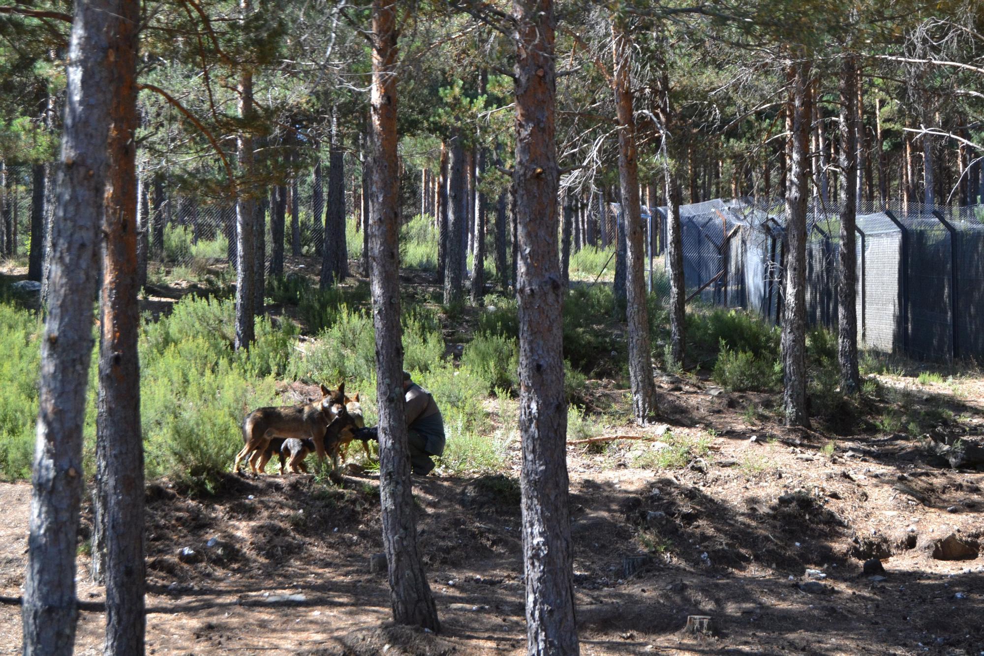 Las mejores imágenes de la visita del consejero al Centro del Lobo de Robledo de Sanabria