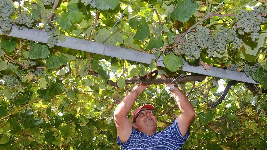 Aumentan las facilidades para que la uva no se quede en la vid