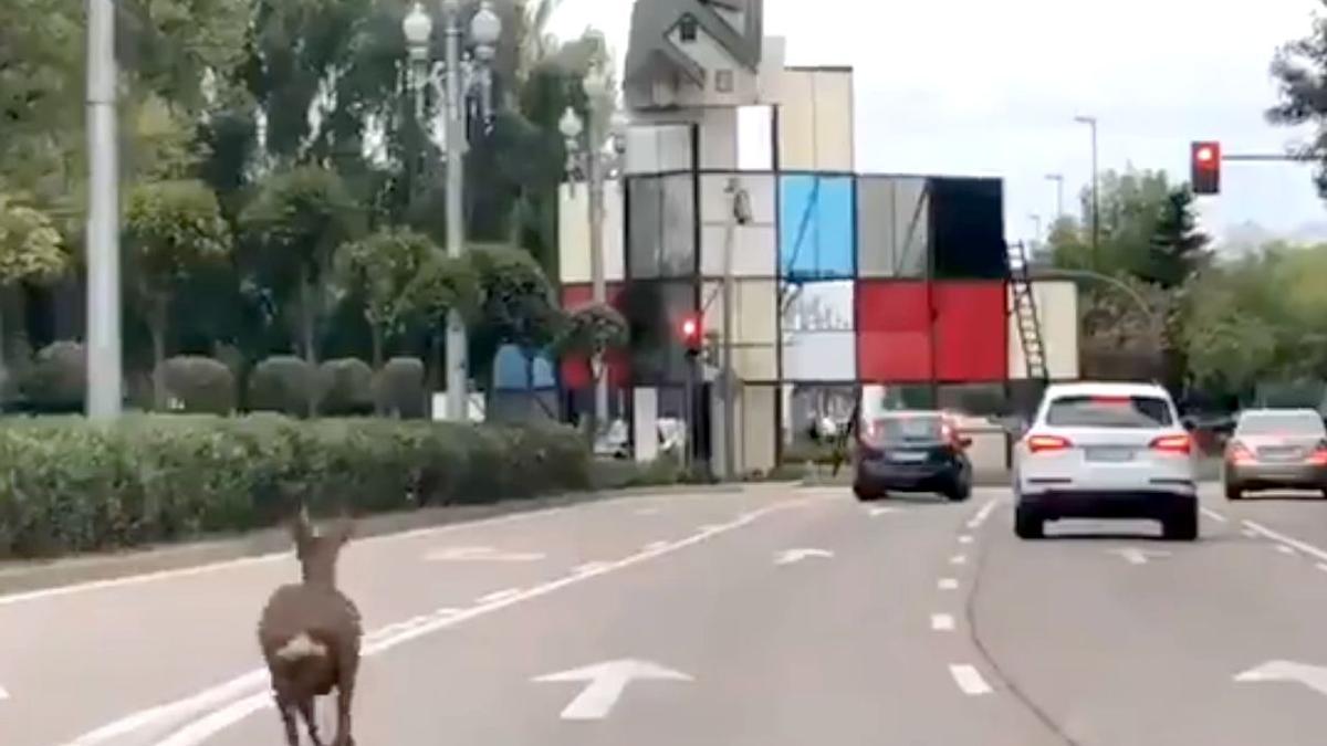 Captura de pantalla del vídeo en el que aparece un corzo perdido corriendo por el paseo Zorrilla de Valladolid al que finalmente capturó la Policía Local.