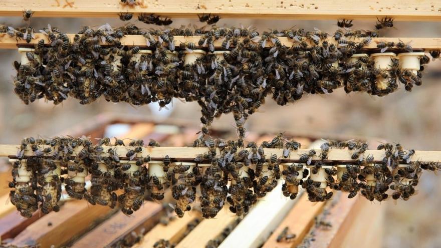 Ayudas para la producción de miel de abeja negra autóctona canaria