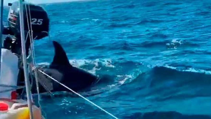 Un grupo de orcas acomete a otro velero mientras navegaba al noroeste de A Coruña