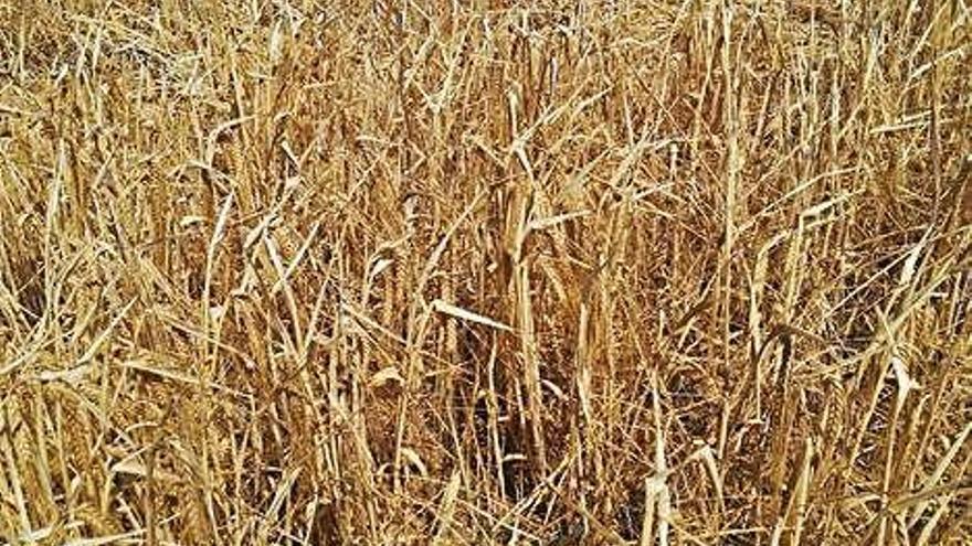 La producció de cereals es redueix a Girona fins a un 40% per la sequera i la calor