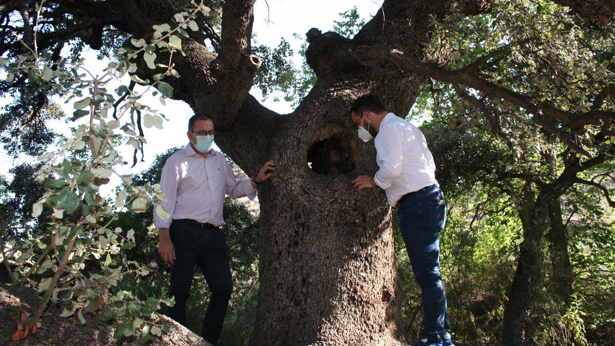 José Luis Ruiz y Diego José Mateos examinan una encina catalogada en Villarreal.