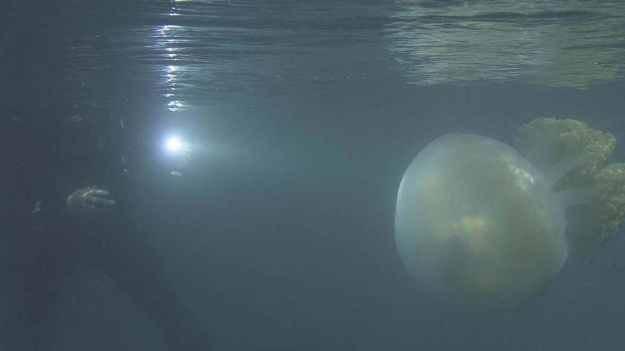 El viaje de una medusa gigante por la ría de Vigo