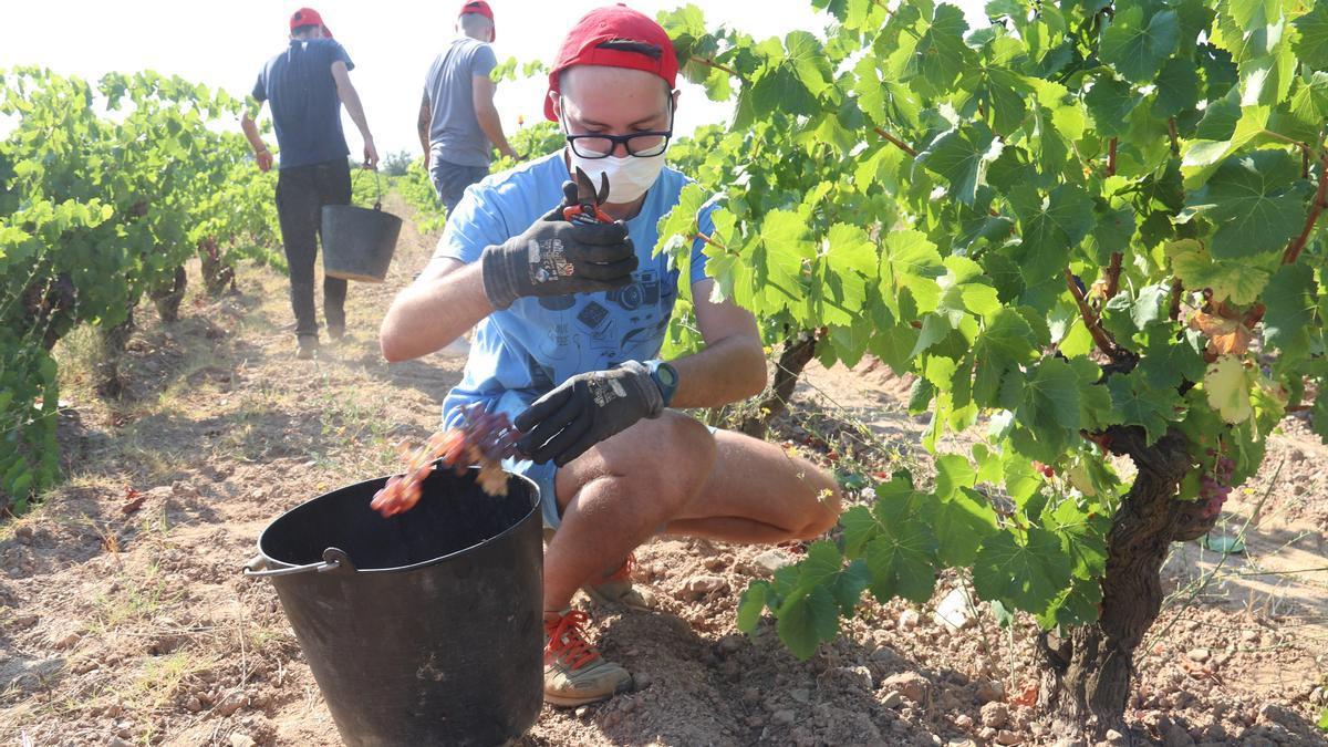 Un veremador en una vinya de Garriguella