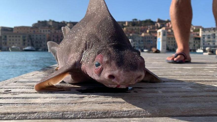 Cuerpo de tiburón y cabeza de cerdo, así es el extraño pez encontrado y confundido con un monstruo marino