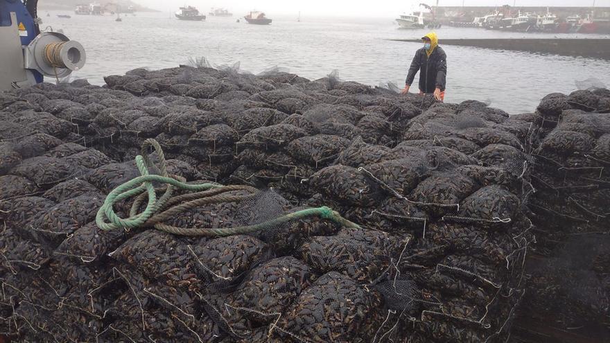 Los bateeiros superan la pandemia de forma airosa tras vender 232.756 toneladas de mejillón