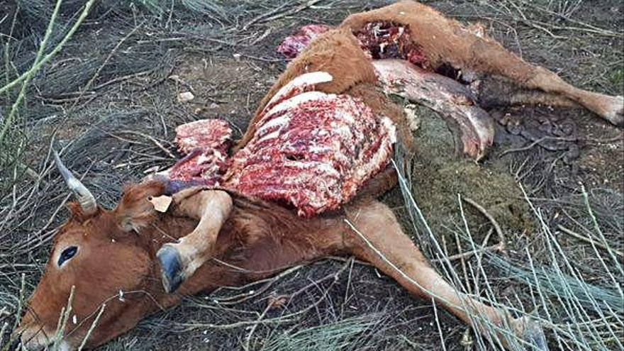 Una vaca muerta y otras siete desaparecidas en un ataque de lobos en Codesal