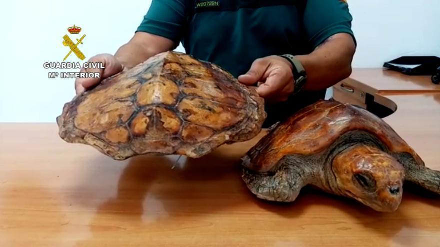 La Guardia Civil requisa dos tortugas bobas que decoraban un local de restauración en Fuerteventura