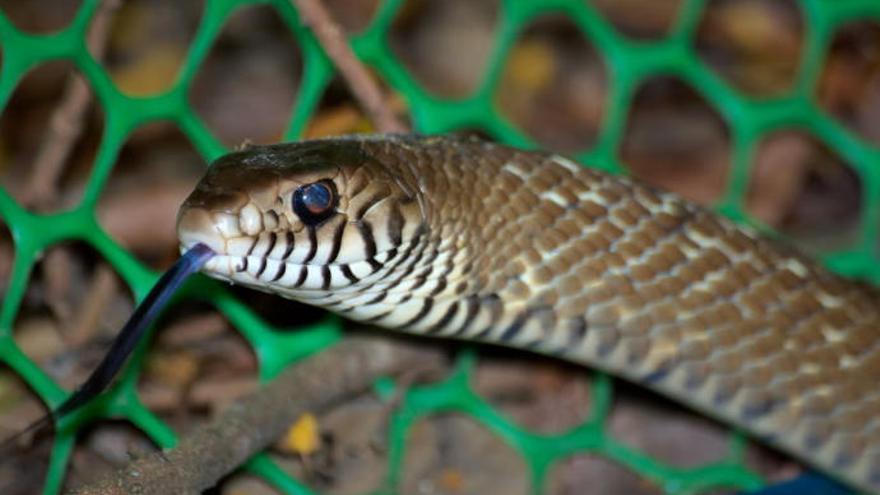 Muere tras morder a una serpiente después de que ella le mordiera a él