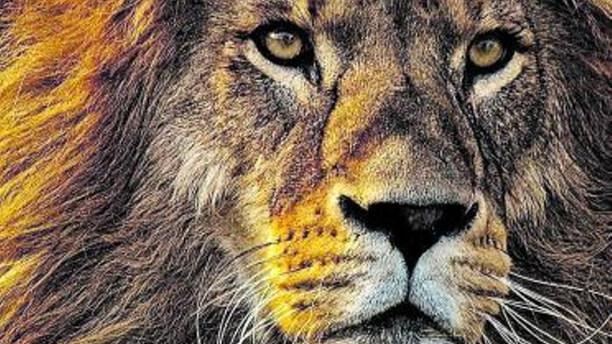 Comer personas provoca mala digestión a los leones