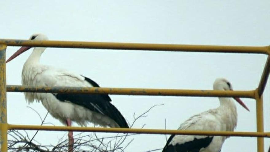 SOS para el único nido de cigüeñas de Ourense