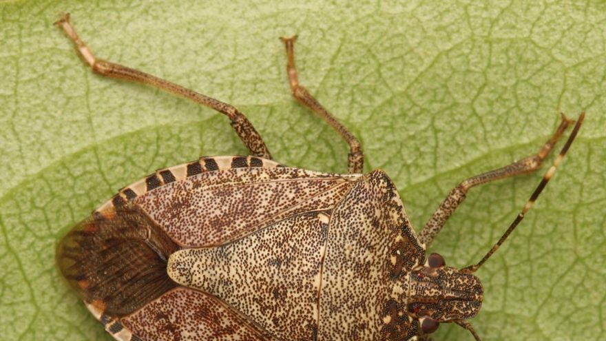 Bernat marbrejat, malson d'insecte foraster!