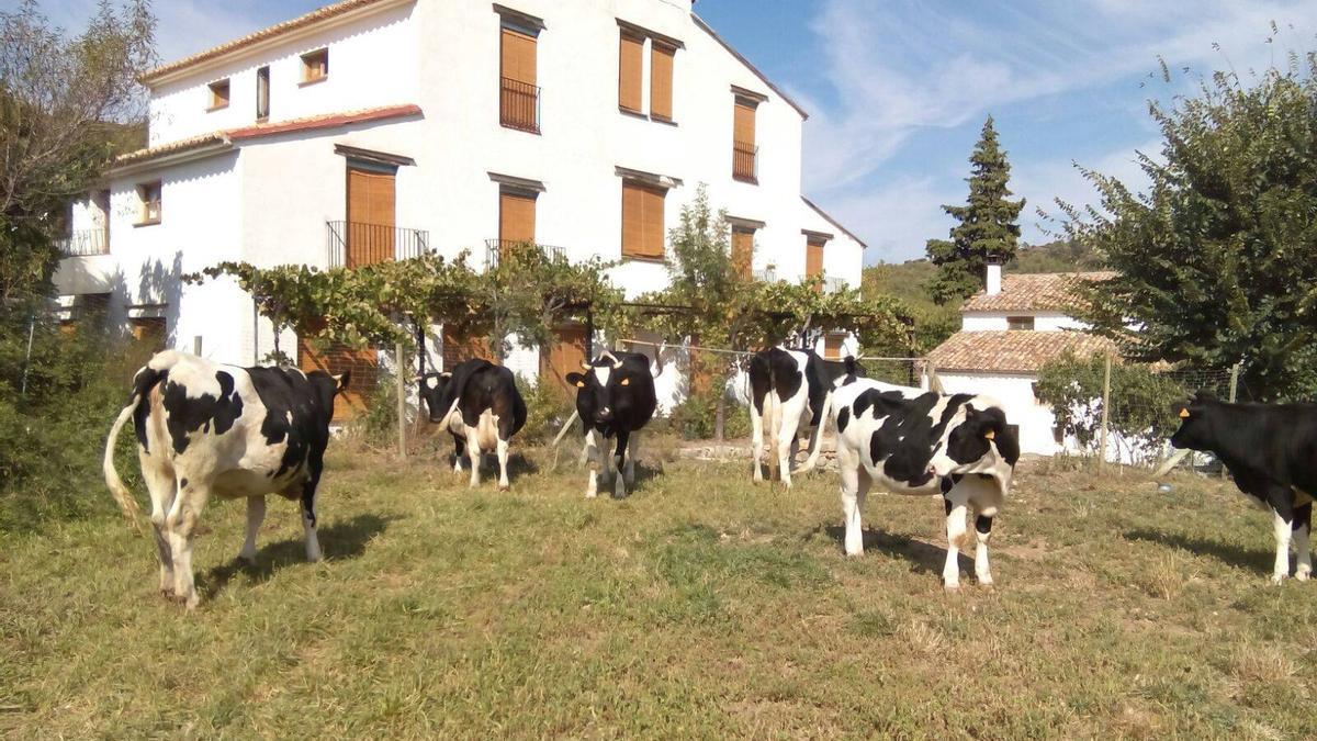 Un rebaño de vacas pasea por delante de la fachada del Mas de Noguera, en Caudiel.