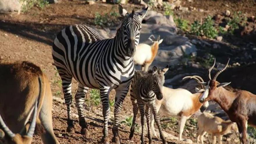 Una cebra, primer nacimiento del año en Terra Natura Murcia