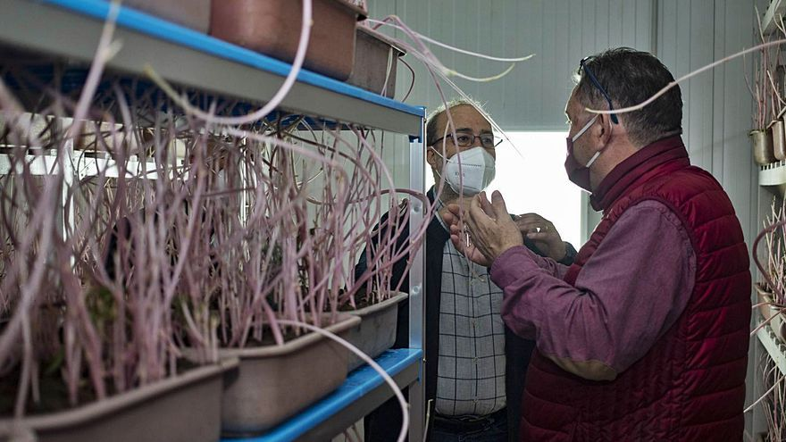 Alzira reabre el insectario para la lucha biológica contra el «cotonet»