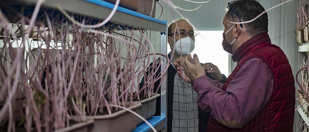 El alcalde de Alzira y Antonio Soler, ayer, en una de las cabinas de cultivo de «Cryptolemus». | PERALES IBORRA