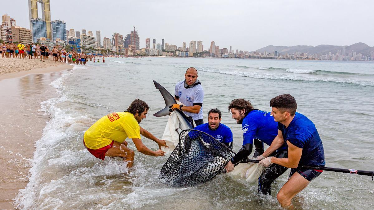 Aparece un tiburón de dos metros en Benidorm