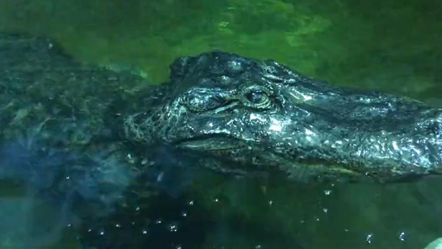 Muere en Rusia 'Saturno', un caimán que perteneció a la colección de Hitler
