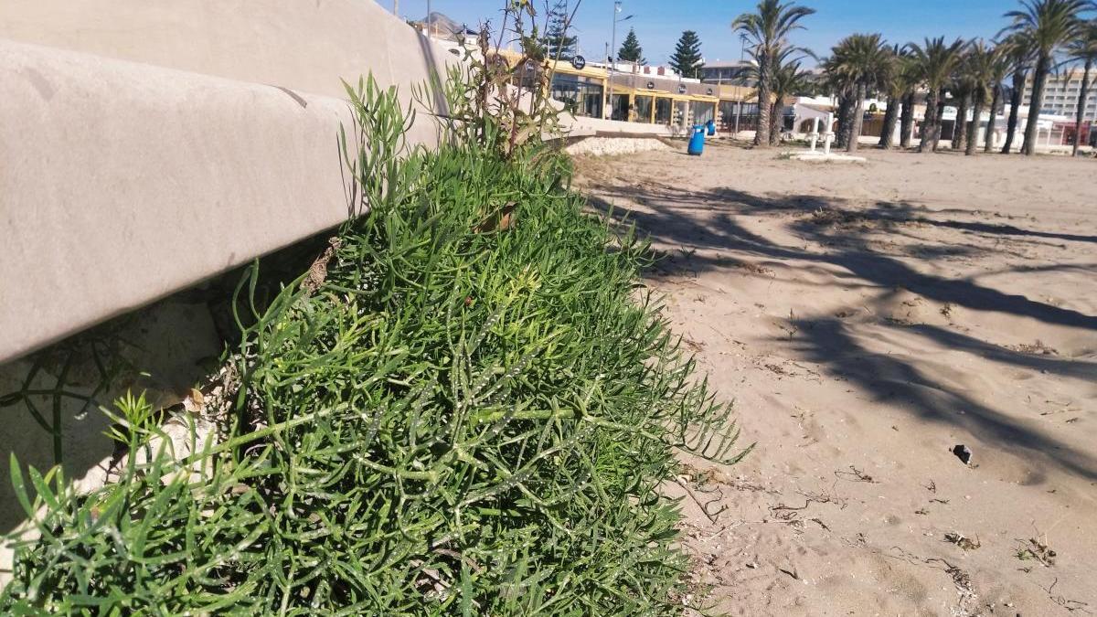 """Los muros del paseo del Arenal de Xàbia, a rebosar de """"fenoll marí"""""""