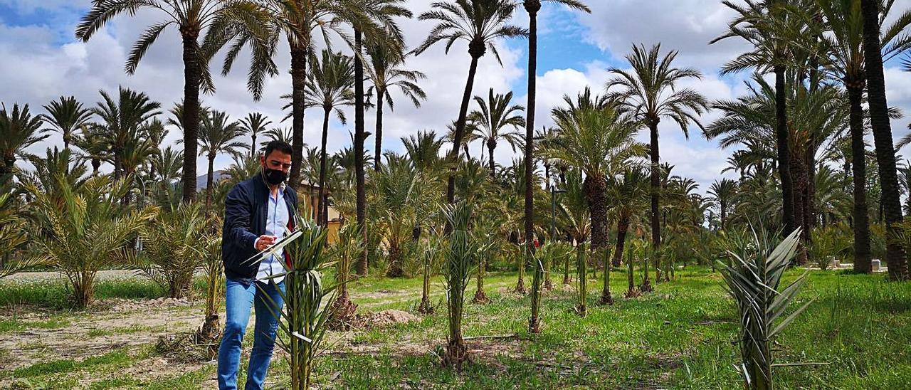 El edil de Medio Ambiente, Dámaso Aparicio, junto a las pequeñas palmeras plantadas