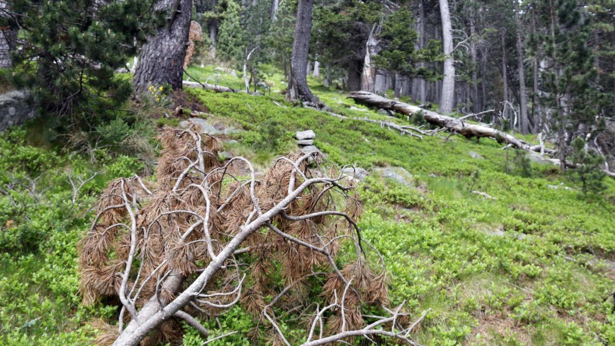Pla general de fusta morta a la finca on fan la prova pilot a Setcases (Ripollès) el juny del 2021. (Horitzontal)