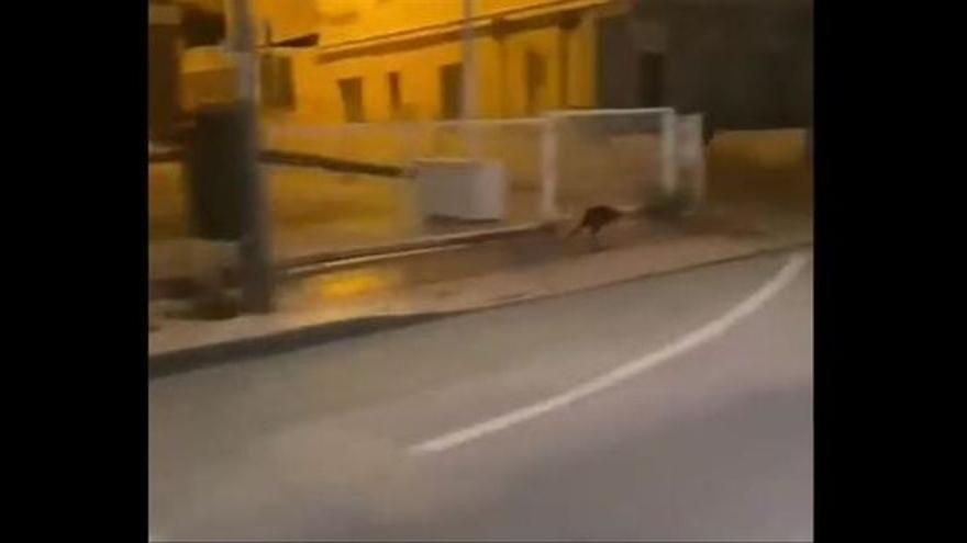 ¡Murcia, qué australiana eres! Graban a un canguro por las calles de la ciudad