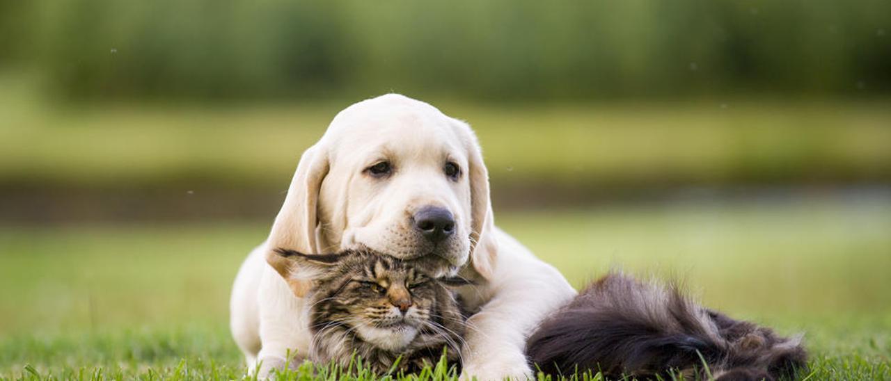 Uno de cada 300 perros y gatos desarrolla diabetes a lo largo de su vida
