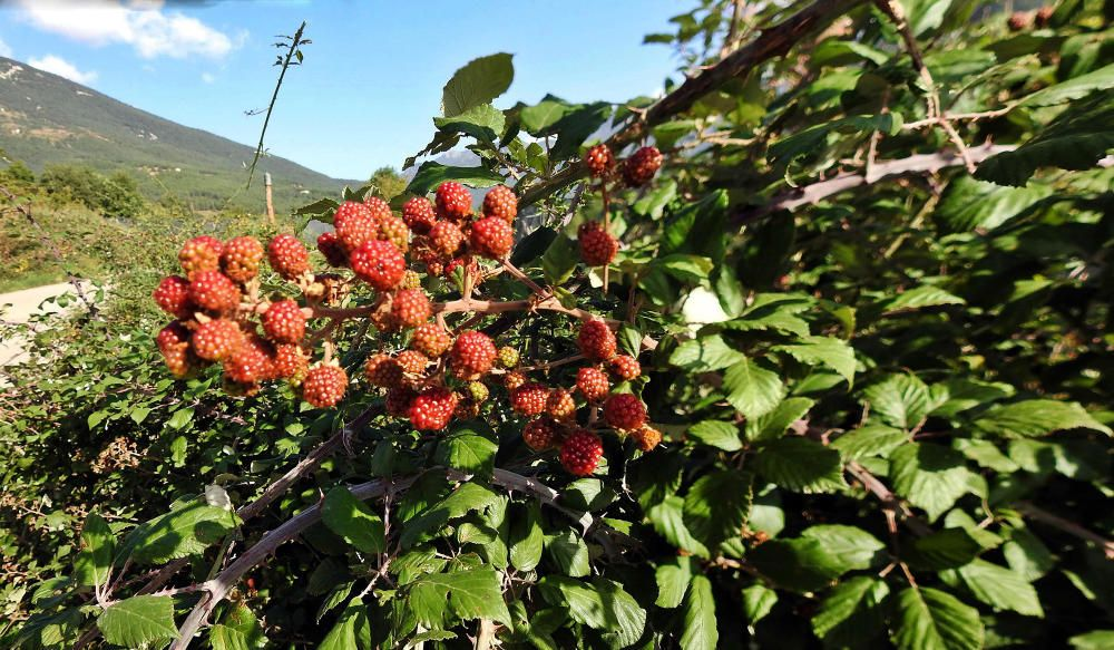 Sant Llorenç de Morunys. Aquestes mores ja comencen a tenir un color ben vermellós, i ja estan gairebé a punt per collir-les.