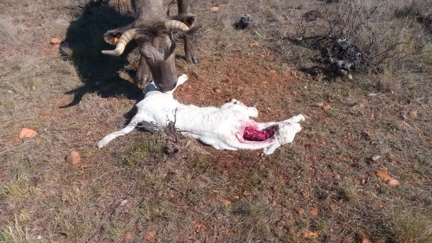El lobo ataca una explotación de vacuno en San Pedro de Ceque