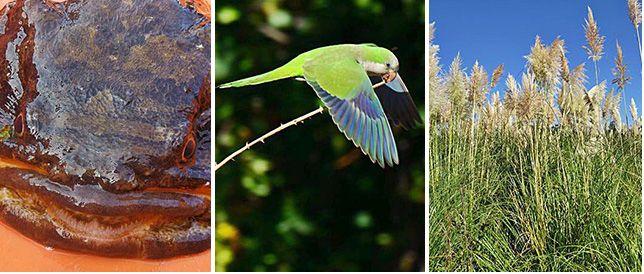 De izquierda a derecha: sapo lusitano, cotorra argentina y hierba de la pampa.