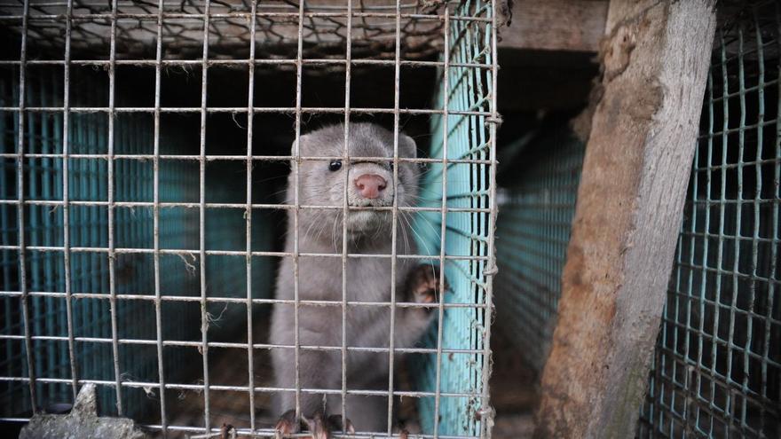 WWF pide a la Generalitat que investigue la aparición de dos visones salvajes muertos con coronavirus